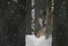 Il mistero del lupo e quello dell'uomo